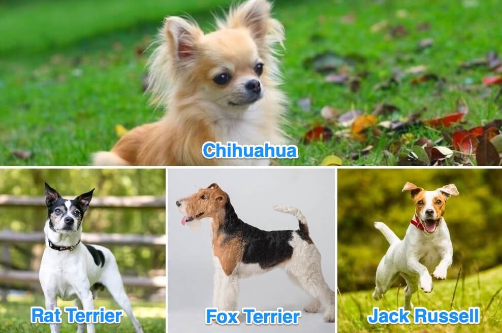 Chihuahua Terrier Mix Dogs