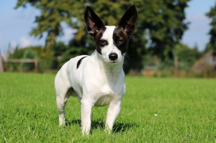 large jack russell terrier mix