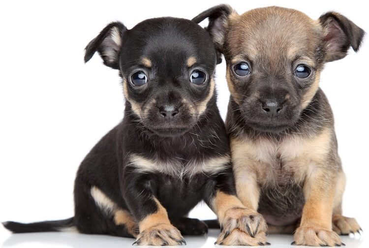 Chihuahua Terrier Mix What It S Like