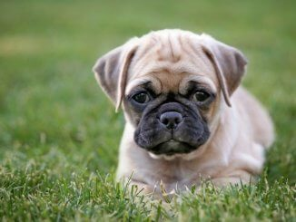 Puggle Owner S Guide The Action Packed Pug Beagle Cross Breed All