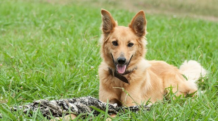 The Definitive German Shepherd Golden Retriever Mix Guide All