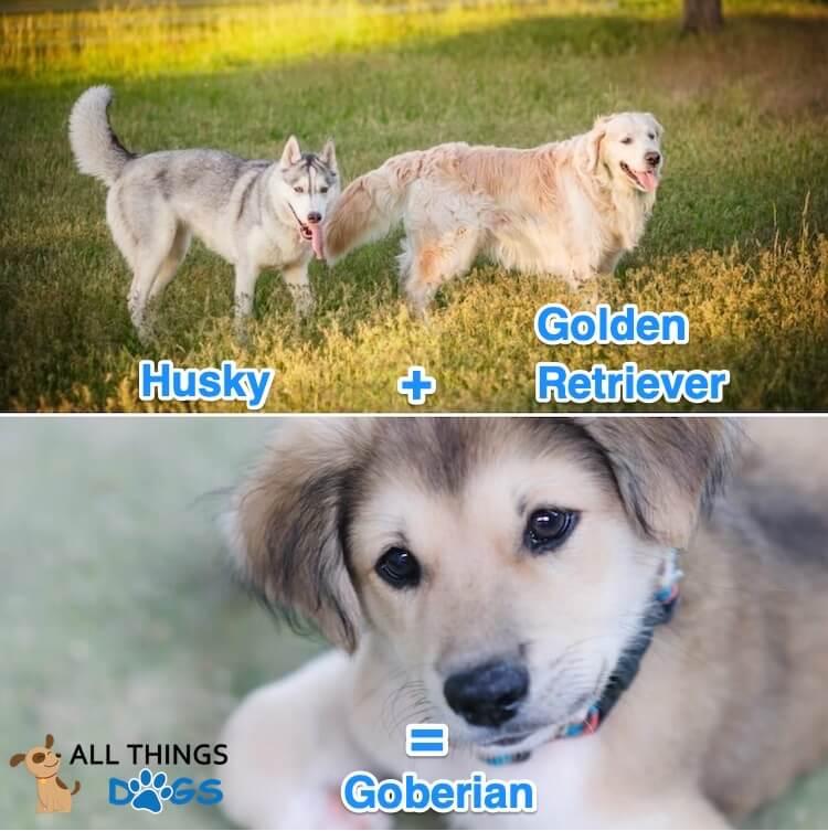 Goberian Dog
