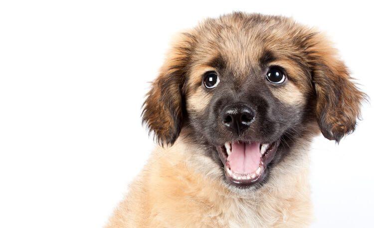 Golden Sheperd Puppy Mix
