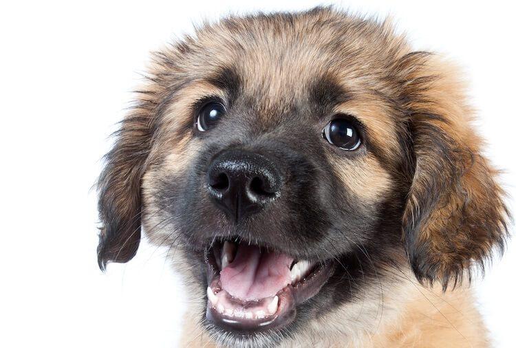 Golden Sheperd Puppy