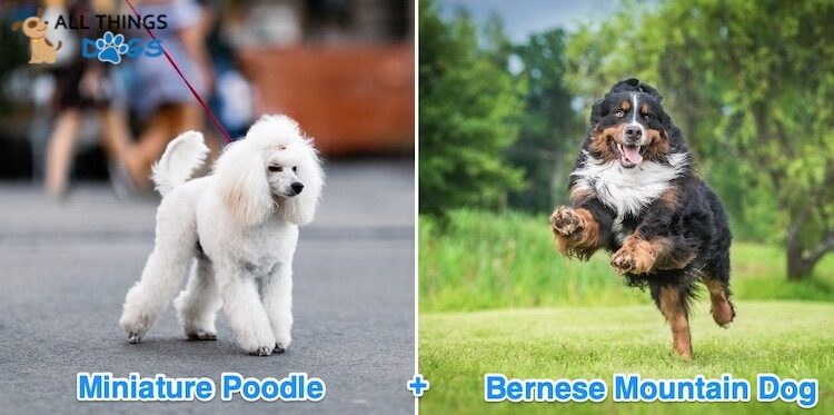 Mini Bernedoodle