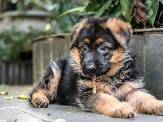 Miniature German Shepherd Feature