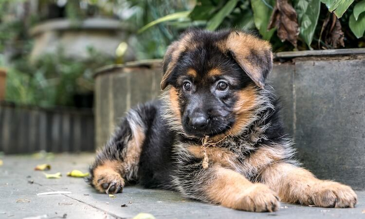 Miniature German Shepherd Do These Pocket Sized Dogs Exist