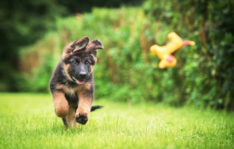 Miniature German Shepherd Playing