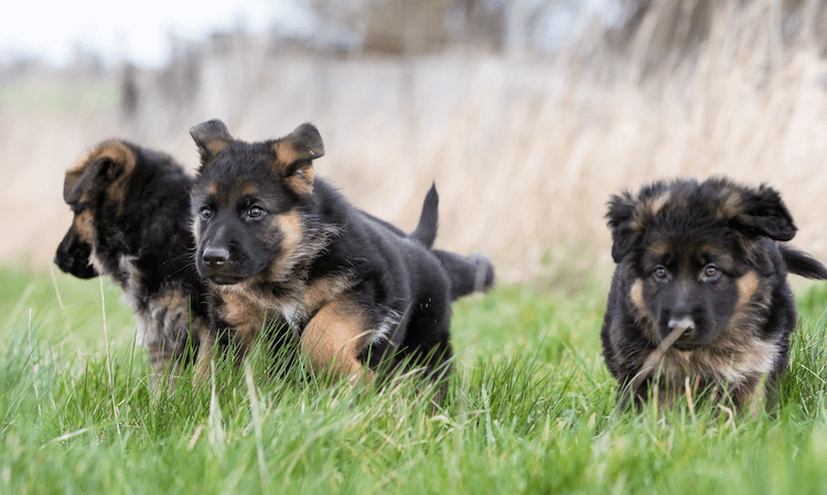 Miniature German Shepherd Puppy
