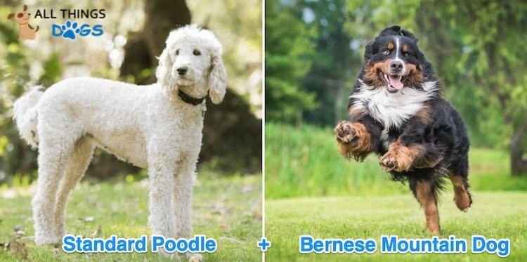 Bernedoodle – The Low Shedding, Loving and Happy Family Dog