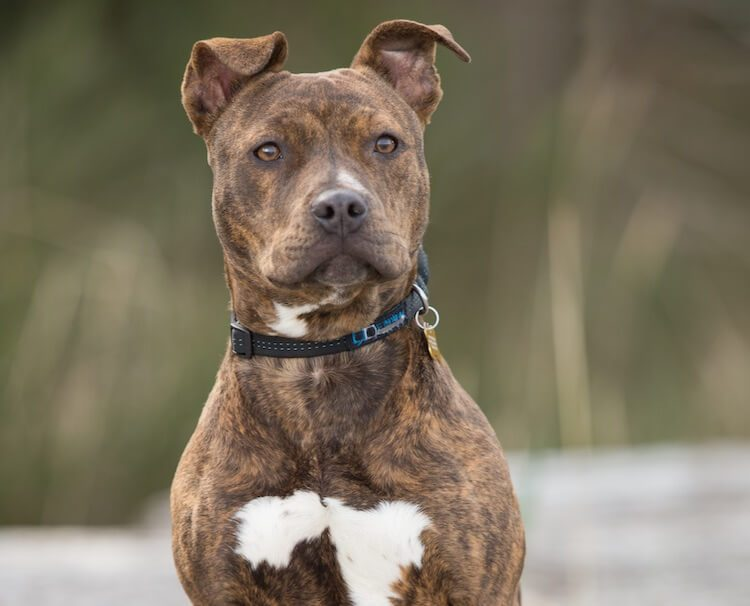 Brindle Pitbull Feature