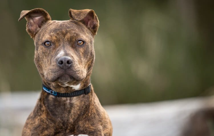 A Pet Parents Guide to the Brindle Pitbull: The Tiger-Striped Dog