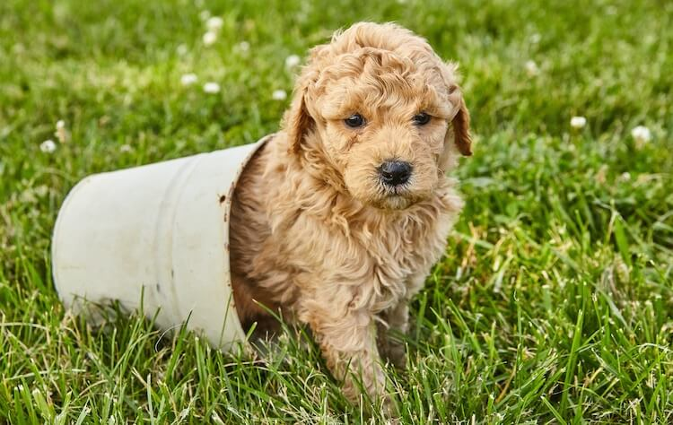 Cute Mini Goldendoodle