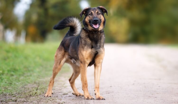 German Shepherd Rottweiler Mix Feature