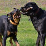 German Shepherd Rottweiler Mix Playing