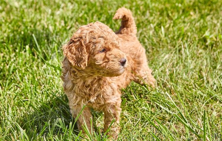 Golden Retriever and Miniature Poodle Mix