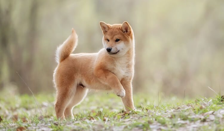 150+ Japanese Dog Names – Male & Female Name Ideas with Meanings