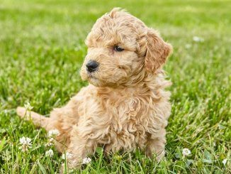Mini Goldendoodle Feature