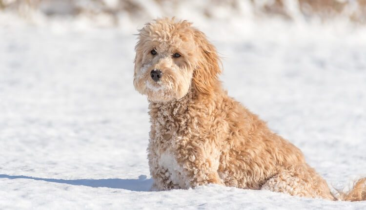 Mini Goldendoodle In The Snow