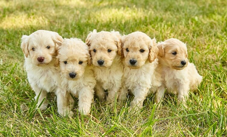 Mini Goldendoodle Puppies