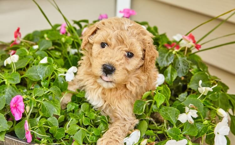 Mini Goldendoodle Temperament