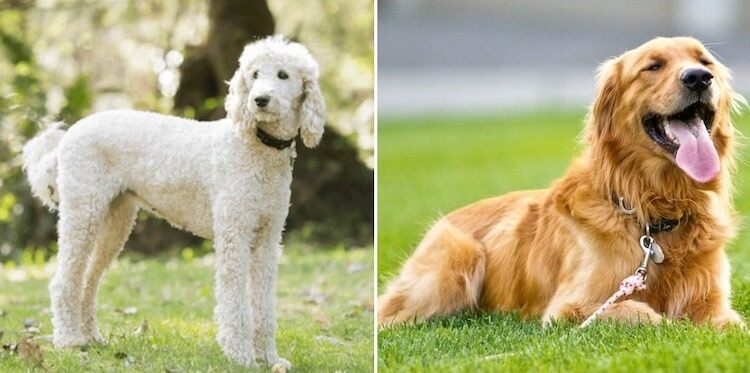 Parents of a Mini Goldendoodle