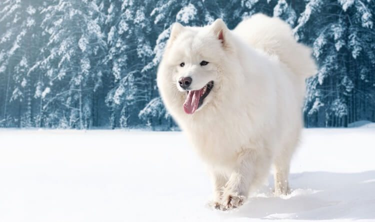 Samoyed On Ice