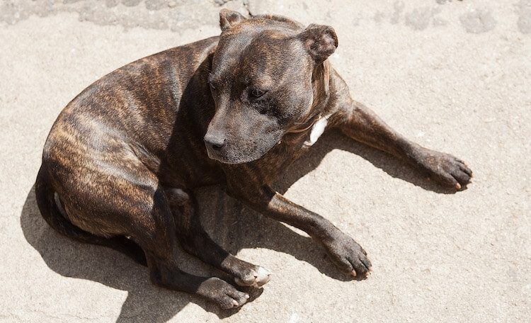 A Pet Parents Guide To The Brindle Pitbull The Tiger