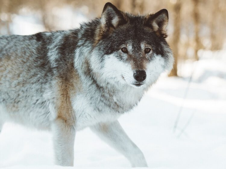 310+ Wolf Names: Male, Female, Famous & Alpha Names With