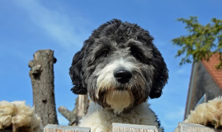 The Complete Aussiedoodle Dog Guide Breeders Pictures