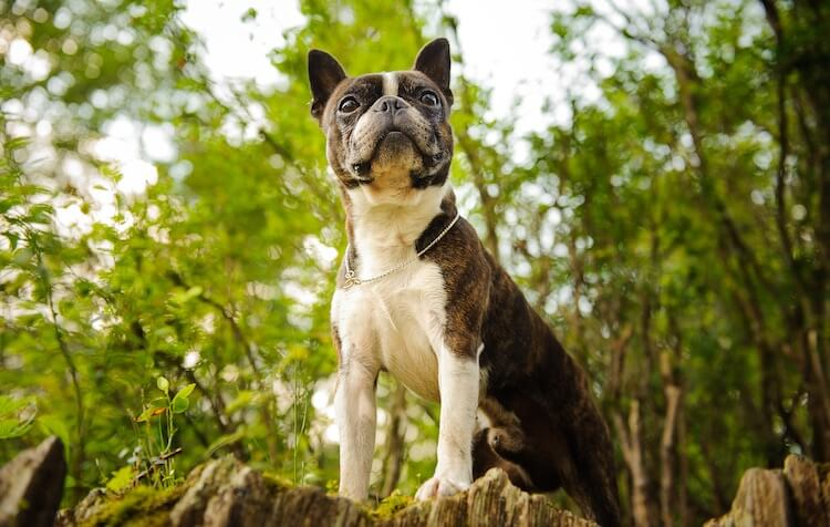 Boston Terrier vs French Bulldog Feature