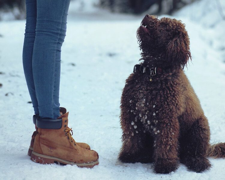 Australian Labradoodle 15 Incredible Facts Which Make