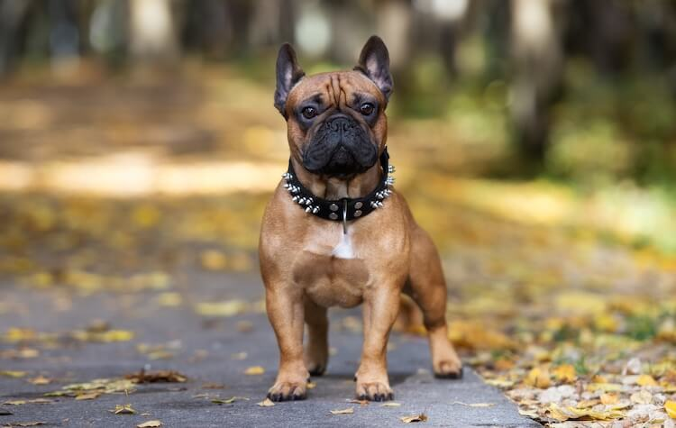 French Bulldog Appearance