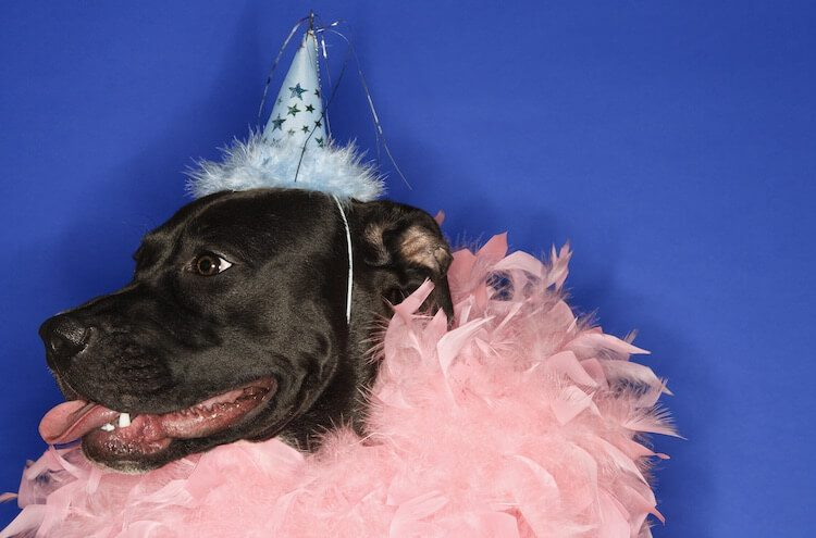 Funny Dog In Party Hat
