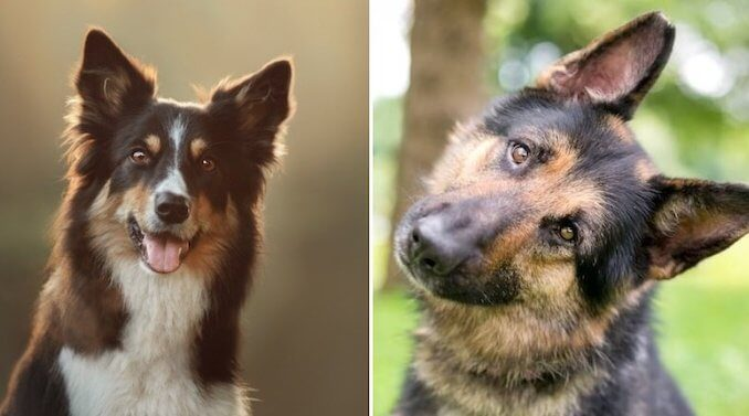 German Shepherd Border Collie Mix Feature