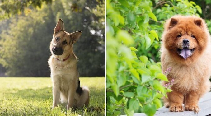 German Shepherd Mix Feature