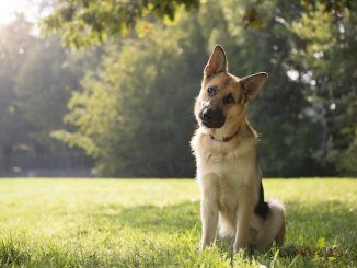 German Shepherd Names Feature