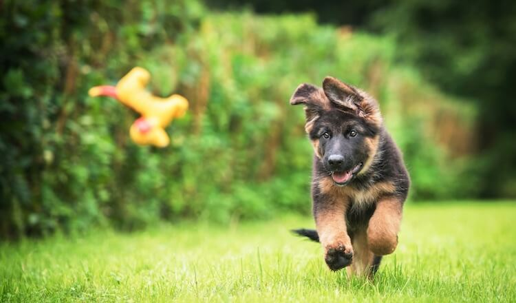 German Shepherd Puppy Names