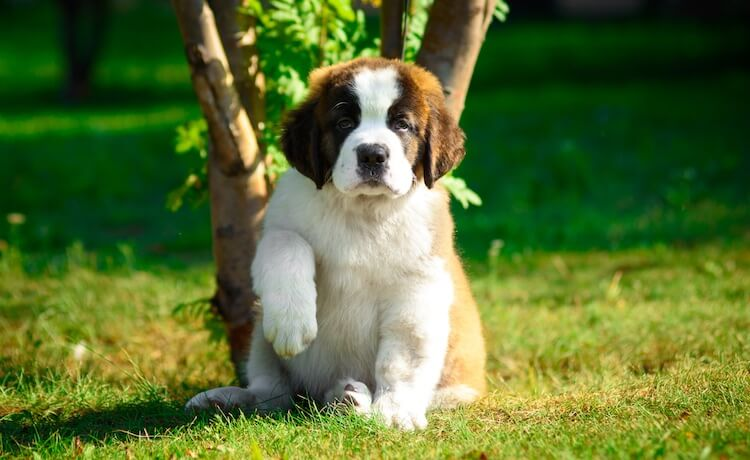 Giant Breed Puppy