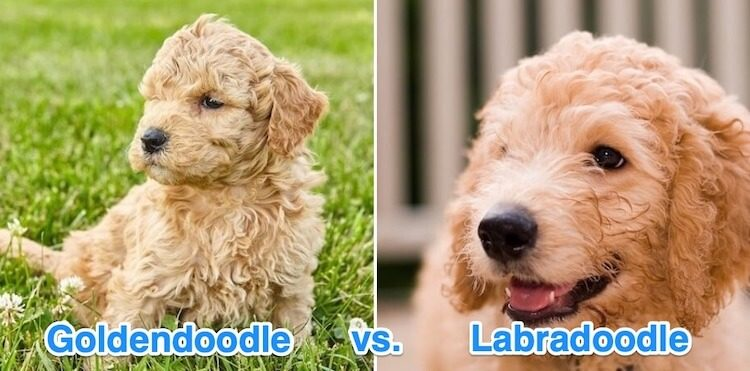 Labradoodle and Goldendoodle Puppies