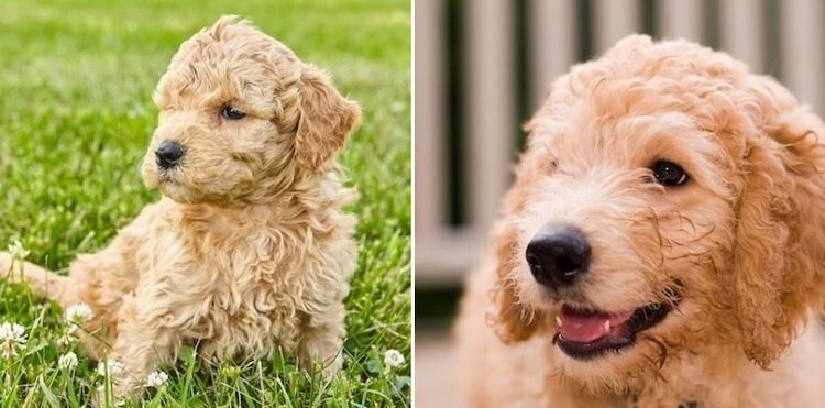 Labradoodle vs Goldendoodle – What's The Difference?