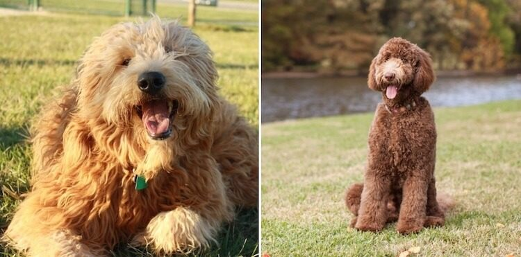 Labradoodle vs Goldendoodle Dogs