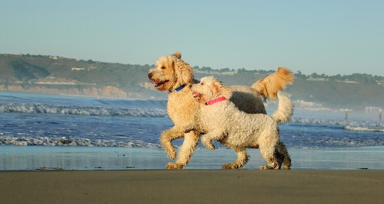 Labradoodle vs Goldendoodle Feature