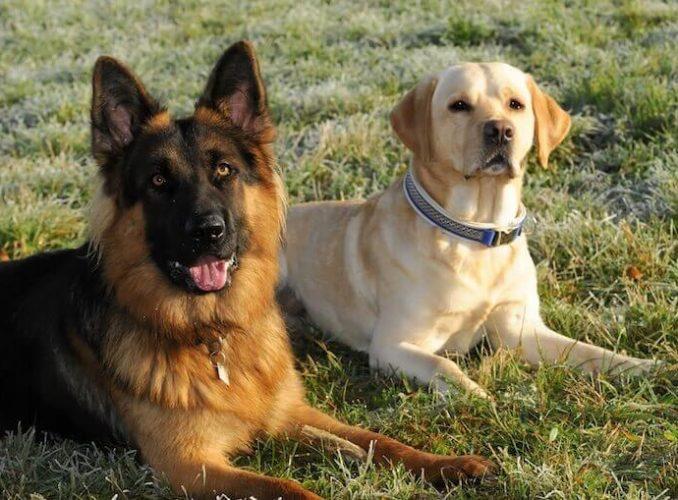 Labrador and German Shepherd Mix