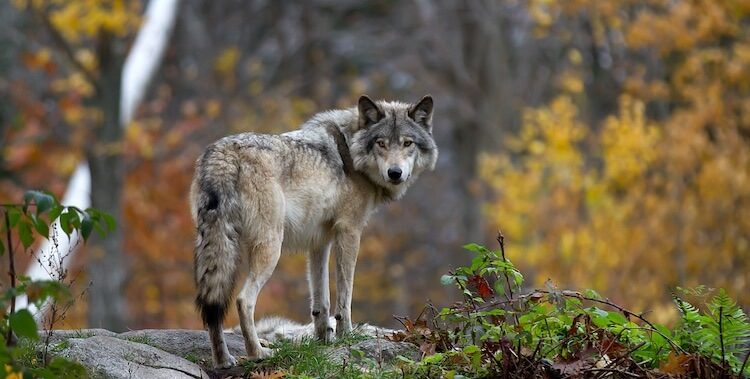 310+ Wolf Names: Male, Female, Famous & Alpha Names With Meaning