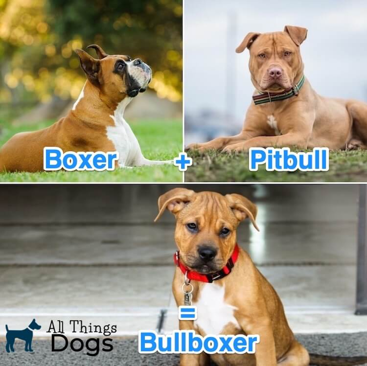 Pitbull Boxer Mix Dog