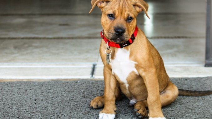 Pitbull Boxer Mix Feature