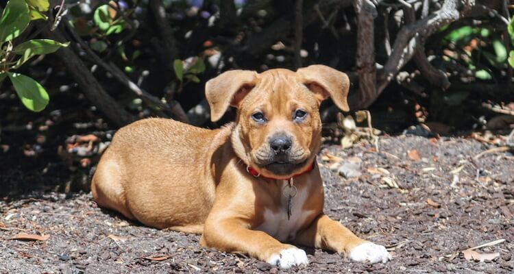 Pitbull Boxer Mix Puppy
