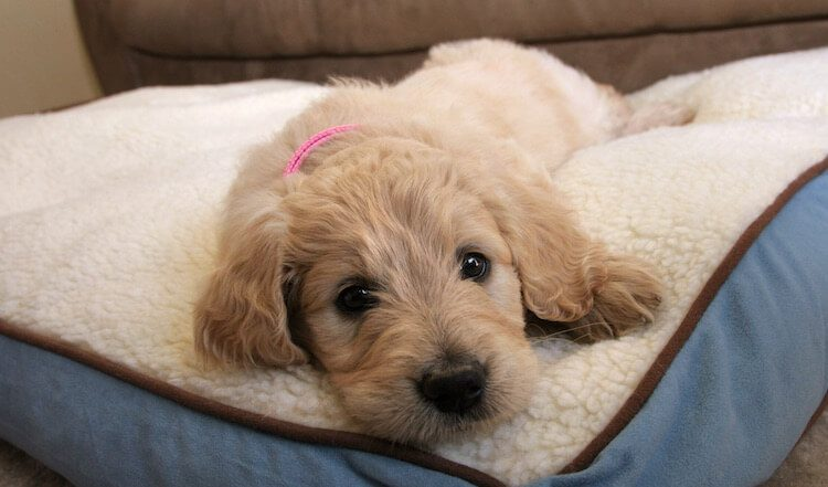 Puppy Goldendoodle