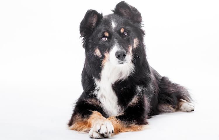 Shollie Dog